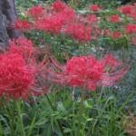 spider-lillies